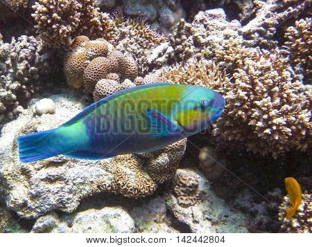 Parrotfish looking for food in tropical sea