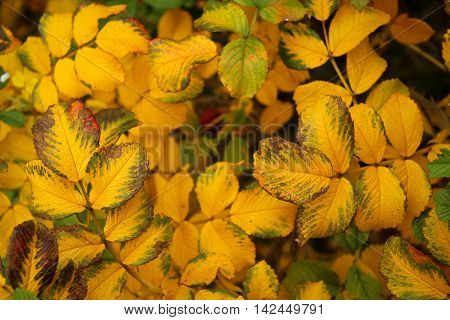 leafs of rose bush during autumn time