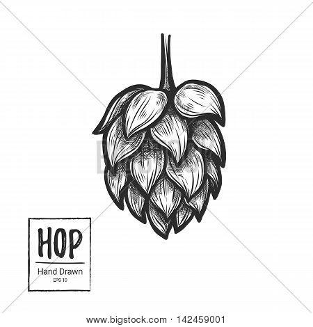 Hand Drawn Vector Illustration - Hop. Perfect For Malt, Ale, Lager, Stout, Labels, Packaging Etc. Sk