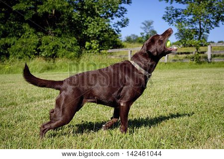 Happy chocolate Lab standing in green field after having just caught tennis ball in mouth
