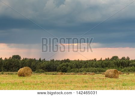 Field with rolls of straw on a summer day after harvest