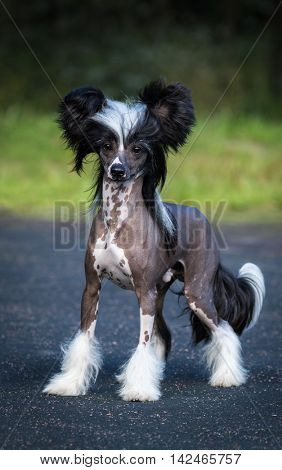 Chinese Crested Dog Breed. Male dog. Toy dog, fine-boned, elegant and graceful. Age 1 year.