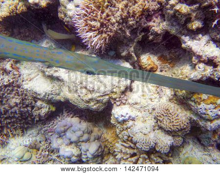 Trumpet fish surprised by diver in tropical sea