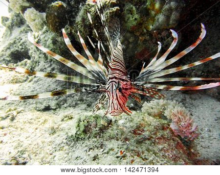 Red Lion-fish with venomous wings in tropical sea