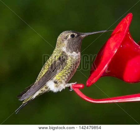Ruby Throated Hummingbird (Archilochus colubris) female sitting at feeder