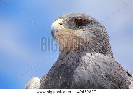 Black-chested buzzard-eagle (Geranoaetus melanoleucus) at the market in Maca Colca Canyon Peru.