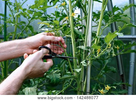 The side shoots on the tomato plants in the greenhouse