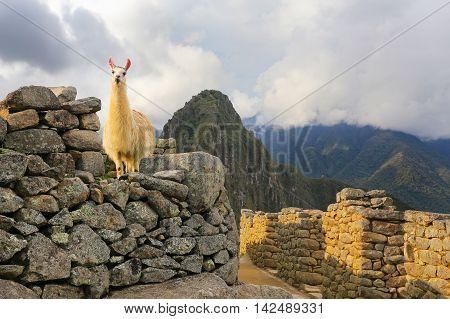 Llama Standing At Machu Picchu Citadel In Peru