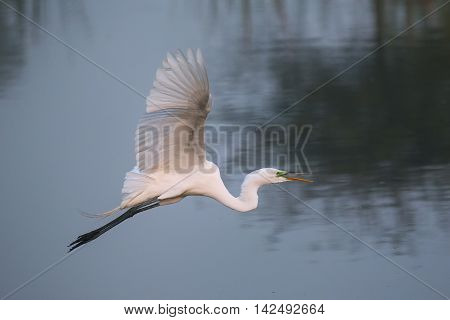 Great Egret (Ardea alba) flying above water
