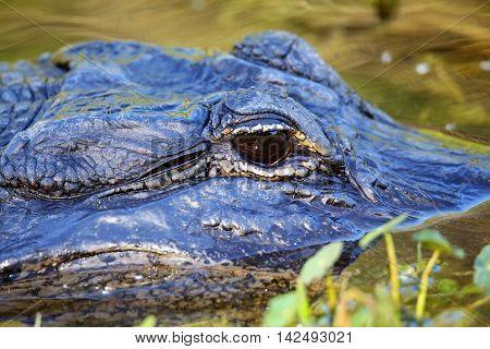 Portrait Of Alligator Floating In Water
