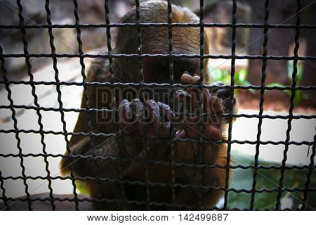 Lonely monkey imprisoned in the zoo. (Korat zoo in Thailand)