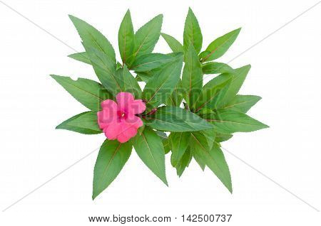 New Guinea impatiens flowers isolated on white background