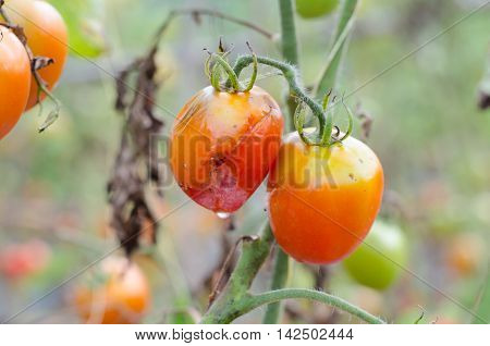 Tomatoes with mold decaying on a garden tree. rotten tomato