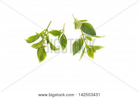 Basil leaf Fresh Have medicinal properties Healthy body on white background.( cimum basilicum)