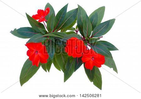 New Guinea impatiens flowers isolated on white background with clipping path