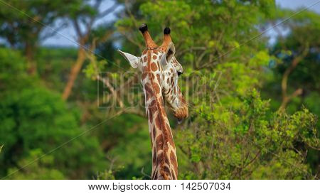 Giraffe with visible Horns and sticking out tongue