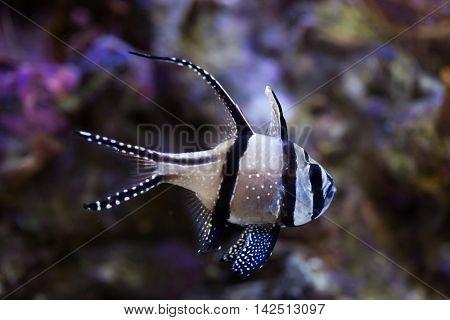 Banggai cardinalfish (Pterapogon kauderni). Sea life.