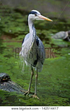 Grey heron (Ardea cinerea). Wildlife bird.