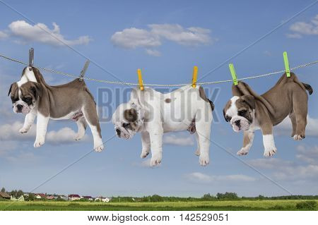 Three puppies purebred English bulldog hanging on the rope by clothes pegs on the background of blue sky
