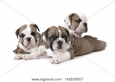 Portrait of three purebred six weeks old English Bulldog puppies isolated on white background poster