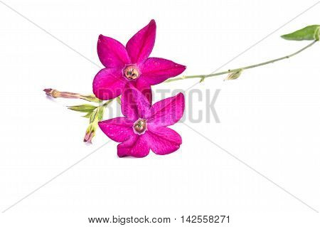 Decorative garden flower the Nicotiana alata is isolated on a white background