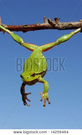 Green frog on a thistle stalk. beautiful green color