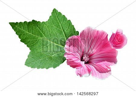 lavatera isolated on white background. bright flower poster