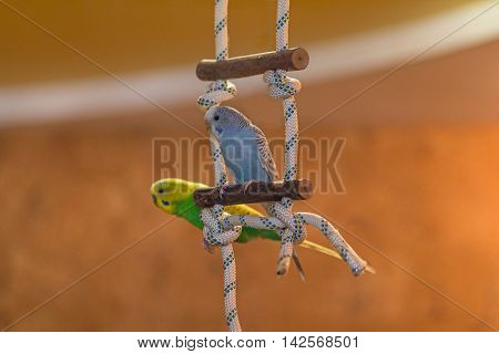 Two parrots sit on a pole in the apartment. Birds