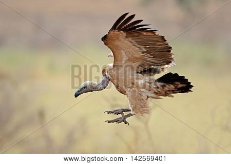 White-backed vulture (Gyps africanus) landing, Kruger National Park, South Africa