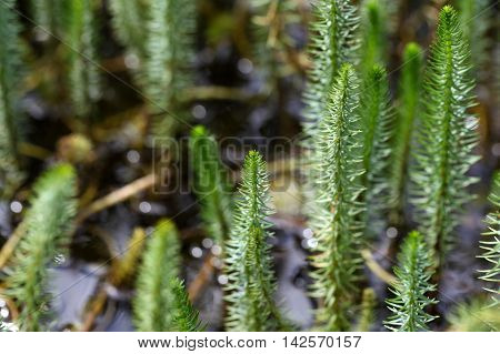 Leaves of a Mares tail (Hippuris vulgaris).
