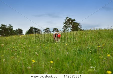 Cavalier King Charles Spaniel Blenheim dog running through spring meadow with its toy