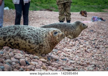 Spotted seals lie on pebble Zheltukhina Island