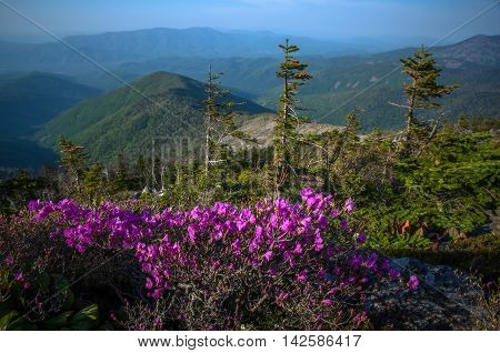 Flowering rhododendron and spruce on top of mountain
