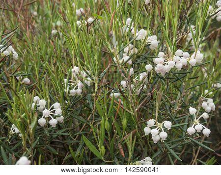 Blooming on field Andromeda polifolia  Summer garden