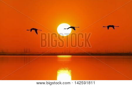 Three flamingos flying in the sky by sunset