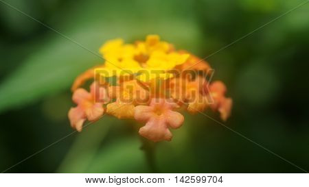 Closeup of small orange and yellow flowers.