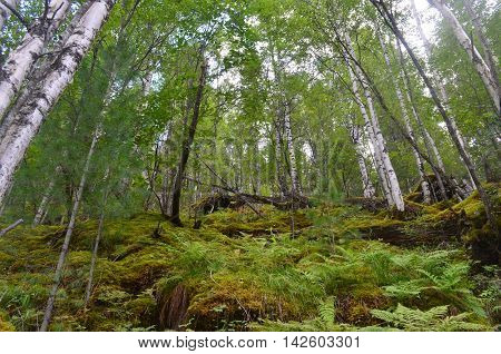 Mountain Birch Forests High In The Sayan Mountains.