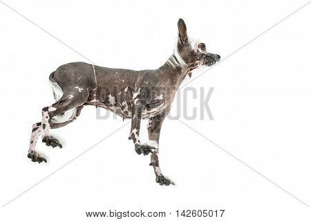 Hairless chinese crested dog stands in the studio on the white background. Photographed from below. Horizontal.