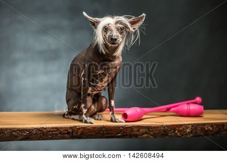 Pretty chinese crested dog sits on the chipboard in the studio on the textured background. Near dog there are two pink sticks. Horizontal.