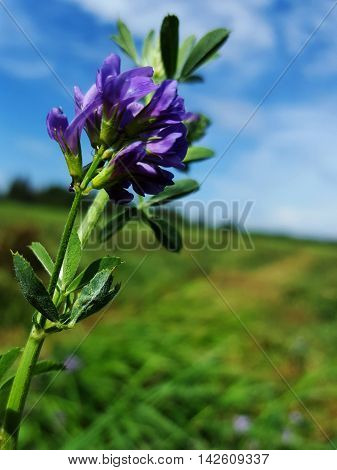 Purple Alfalfa blossoming in the hay fields