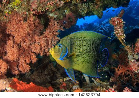 Tropical reef fish: Koran Angelfish (Pomacanthus semicirculatus)