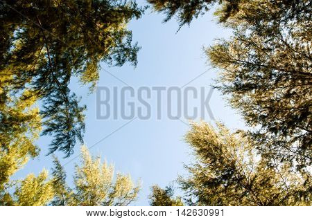 The Motion Blur View Through Canopy Of Tall Pine Tree To Blue Sky Among Sunlight