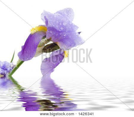 Iris And Pond