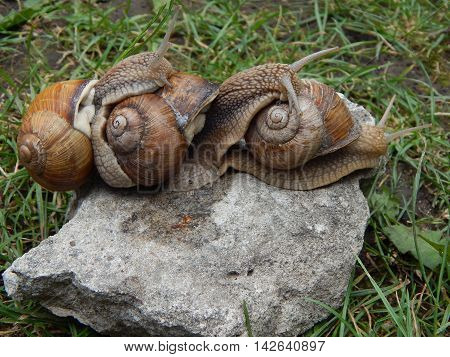 Snail crawling the green grass in garden