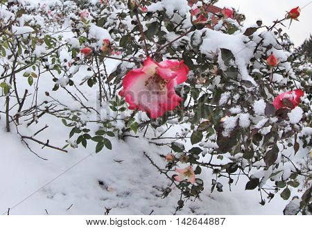 Red and white roses in the snow. Snow on red and white rose. Survey carried out in Tomsk, Siberia, Russia.