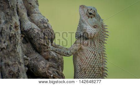 Ceylon chameleon on the tree in the village of Koggala Sri Lanka.