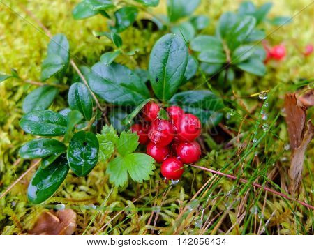 Cranberries growing in moss, fruit rich in vitamins. Berries for making jam or sweet syrup.
