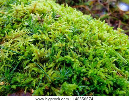 Moss grows on the boulders. The Nature Of The North. The moss plant covering. Soft plant of the North.