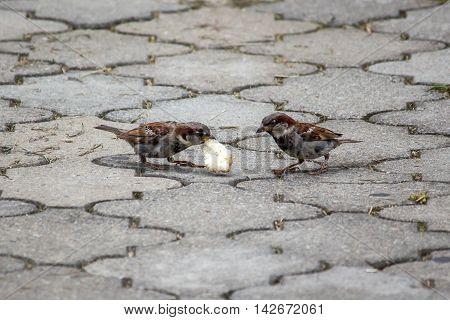 Sparrow pecks grain on the footpath in the park. Birds.