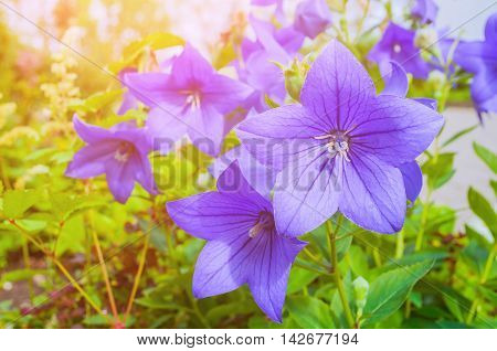 Bellflowers - Platycodon grandiflorus - in the meadow under bright sunlight. It is commonly known as common balloon flower or balloon flower. Summer flower landscape. Focus at the central bellflower
